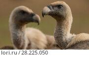 Купить «Griffon vulture (Gyps fulvus) portrait of two, Tremp, Spain October.», фото № 28225050, снято 19 августа 2018 г. (c) Nature Picture Library / Фотобанк Лори