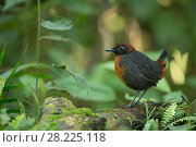 Купить «Rufous breasted antthrush (Formicarius rufipectus) Mindo Cloud Forest, Ecuador», фото № 28225118, снято 22 октября 2018 г. (c) Nature Picture Library / Фотобанк Лори