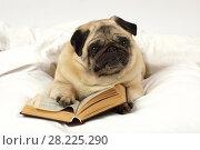 Купить «Pug dog reading a book», фото № 28225290, снято 18 марта 2018 г. (c) Алексей Кузнецов / Фотобанк Лори