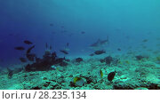 Купить «Tiger Shark picks up the remains of tuna and other fishery wastes thrown into the ocean», видеоролик № 28235134, снято 27 марта 2018 г. (c) Некрасов Андрей / Фотобанк Лори