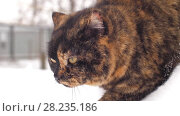 Купить «Portrait of a cat at winter», видеоролик № 28235186, снято 16 марта 2018 г. (c) Илья Шаматура / Фотобанк Лори