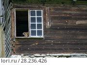 Купить «Mountain goat inside a mountain cabin, Kaupanger, Norway.», фото № 28236426, снято 9 августа 2015 г. (c) age Fotostock / Фотобанк Лори