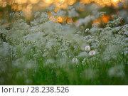 Купить «Cow parsley (Anthriscus sylvestris) with Dandelion (Taraxacum officinale) Oland, Sweden», фото № 28238526, снято 23 мая 2018 г. (c) Nature Picture Library / Фотобанк Лори