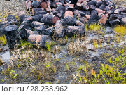 Купить «Abandoned barrels of leaking waste oil on the tundra, Nome, Alaska, USA, September 2004.», фото № 28238962, снято 19 апреля 2018 г. (c) Nature Picture Library / Фотобанк Лори