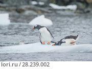 Купить «Gentoo Penguins on the ice», фото № 28239002, снято 25 февраля 2018 г. (c) Vladimir / Фотобанк Лори