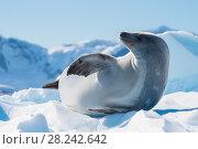 Купить «Crabeater seal on ice flow, Antarctica», фото № 28242642, снято 18 февраля 2018 г. (c) Vladimir / Фотобанк Лори