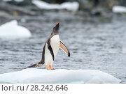 Купить «Gentoo Penguins on the ice», фото № 28242646, снято 25 февраля 2018 г. (c) Vladimir / Фотобанк Лори