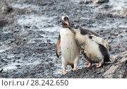 Купить «Gentoo Penguin with chick», фото № 28242650, снято 26 февраля 2018 г. (c) Vladimir / Фотобанк Лори