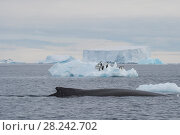 Купить «Humpback Whale logging», фото № 28242702, снято 31 декабря 2017 г. (c) Vladimir / Фотобанк Лори