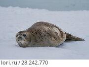 Купить «Weddell Seal laying on the ice», фото № 28242770, снято 31 декабря 2017 г. (c) Vladimir / Фотобанк Лори