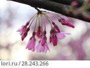 Купить «Цветение сакуры», фото № 28243266, снято 28 марта 2018 г. (c) Марина Володько / Фотобанк Лори