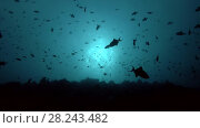 School of Red-toothed triggerfish swims in the blue water over coral reef (backlight) Стоковое видео, видеограф Некрасов Андрей / Фотобанк Лори