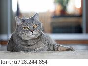Купить «Довольный кот скоттиш-страйт лежит на полу комнаты», фото № 28244854, снято 1 апреля 2018 г. (c) Григорий Писоцкий / Фотобанк Лори