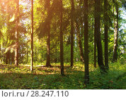 Купить «Forest spring landscape. Row of pine trees in the dense spring forest under sofr sunlight. Spring picturesque forest landscape scene», фото № 28247110, снято 21 сентября 2017 г. (c) Зезелина Марина / Фотобанк Лори