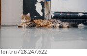 Купить «Lazy striped cat lounging on the floor in studio lying down», видеоролик № 28247622, снято 22 мая 2018 г. (c) Константин Шишкин / Фотобанк Лори