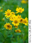 Купить «Arnica montana in bloom, European flowering plant used in herbal medicine, арника», фото № 28247982, снято 30 июня 2017 г. (c) Короленко Елена / Фотобанк Лори