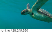 Купить «Green Sea Turtle (Chelonia mydas) floats to surface of water, breathes and dives to the bottom, Red sea, Marsa Alam, Abu Dabab, Egypt», видеоролик № 28249550, снято 25 октября 2017 г. (c) Некрасов Андрей / Фотобанк Лори