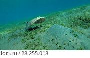 Купить «Panther Electric Ray (Torpedo panthera) floats over the sandy bottom with overgrown sea grass, Red sea, Marsa Alam, Abu Dabab, Egypt», видеоролик № 28255018, снято 25 октября 2017 г. (c) Некрасов Андрей / Фотобанк Лори