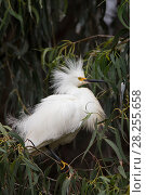 Купить «Snowy egret (Egretta thula) adult displaying, Sonoma County, California, USA.», фото № 28255658, снято 17 июня 2019 г. (c) Nature Picture Library / Фотобанк Лори