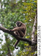 Купить «Agile gibbon (Hylobates agilis) in tree, Tanjung Puting National Park, Indonesia.», фото № 28255670, снято 21 сентября 2019 г. (c) Nature Picture Library / Фотобанк Лори