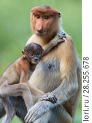 Купить «Proboscis monkey(Nasalis larvatus)Mother and infantSabah, Malaysia», фото № 28255678, снято 21 сентября 2019 г. (c) Nature Picture Library / Фотобанк Лори