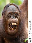 Купить «Bornean orangutan (Pongo pygmaeus) yawning, Tanjung Puting National Park, Indonesia.», фото № 28255686, снято 11 июля 2020 г. (c) Nature Picture Library / Фотобанк Лори