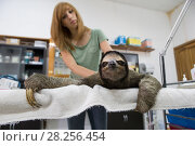 Купить «Brown-throated Three-toed sloth (Bradypus variegatus) being examined by Rebecca Cliff, Sloth Biologist, prior to putting on a sloth backpack radio collar...», фото № 28256454, снято 21 сентября 2019 г. (c) Nature Picture Library / Фотобанк Лори