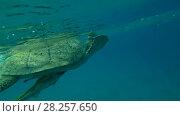 Купить «Leucism - Big male Green Sea Turtle (Chelonia mydas) floats to surface of water, breathes and dives to the bottom, Red sea, Marsa Alam, Abu Dabab, Egypt», видеоролик № 28257650, снято 24 октября 2017 г. (c) Некрасов Андрей / Фотобанк Лори