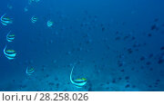 Massive school of Schooling bannerfish - Heniochus diphreutes and Red-toothed triggerfish - Odonus niger swim over coral reef in blue water, Indian Ocean, Maldives. Стоковое видео, видеограф Некрасов Андрей / Фотобанк Лори