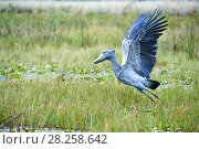 Купить «Shoebill stork (Balaeniceps rex) taking off in the swamps of Mabamba, Lake Victoria, Uganda», фото № 28258642, снято 18 июня 2019 г. (c) Nature Picture Library / Фотобанк Лори