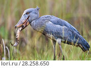 Купить «Shoebill stork (Balaeniceps rex) feeding on a Spotted African lungfish (Protopterus dolloi) in the swamps of Mabamba, lake Victoria, Uganda», фото № 28258650, снято 18 июня 2019 г. (c) Nature Picture Library / Фотобанк Лори