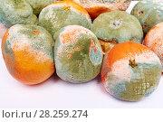 Испорченные мандарины,покрытые плесенью на изолированном белом фоне. Стоковое фото, фотограф Никита Ковалёв / Фотобанк Лори