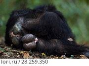 Купить «Eastern chimpanzee (Pan troglodytes schweinfurtheii) male 'Wilkie' aged 39 years resting - rear view. Gombe National Park, Tanzania.», фото № 28259350, снято 29 января 2020 г. (c) Nature Picture Library / Фотобанк Лори