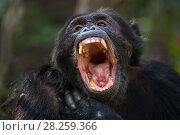 Купить «Eastern chimpanzee (Pan troglodytes schweinfurtheii) male 'Titan' aged 18 years yawning. Gombe National Park, Tanzania.», фото № 28259366, снято 20 января 2020 г. (c) Nature Picture Library / Фотобанк Лори