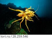 Купить «Freshwater isopod, Amphipod gammarus (Acanthogammarus victorii) swimming, Lake Baikal, Siberia, Russia», фото № 28259546, снято 16 августа 2018 г. (c) Nature Picture Library / Фотобанк Лори