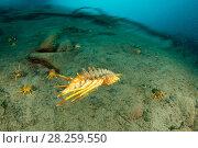 Купить «Freshwater isopod (Acanthogammarus victorii) swimming, Lake Baikal, Siberia, Russia.», фото № 28259550, снято 16 августа 2018 г. (c) Nature Picture Library / Фотобанк Лори