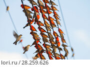 Купить «Madagascar fody (Foudia madagascariensis), flock of males and females resting on a wire, Praslin Island, Republic of Seychelles», фото № 28259626, снято 17 июля 2018 г. (c) Nature Picture Library / Фотобанк Лори
