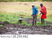 Купить «Safari driver and Masai man rescuing an Impala (Aepyceros melampus) stuck in  mud, Masai Mara, Kenya.», фото № 28259682, снято 23 июля 2018 г. (c) Nature Picture Library / Фотобанк Лори