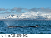 Купить «Sperm whale (Physeter macrocephalus) off the Snaefellsnes Peninsula, Iceland. April.», фото № 28259862, снято 19 августа 2018 г. (c) Nature Picture Library / Фотобанк Лори
