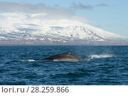 Купить «Sperm whale (Physeter macrocephalus) off the Snaefellsnes Peninsula, Iceland. April.», фото № 28259866, снято 19 августа 2018 г. (c) Nature Picture Library / Фотобанк Лори