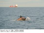 Купить «Bottlenose dolphin (Tursiops truncatus) female 'Spritie' with sunburn after stranding, Moray Firth, Highlands, Scotland. August.», фото № 28259890, снято 22 мая 2018 г. (c) Nature Picture Library / Фотобанк Лори