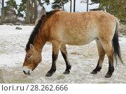 Купить «Mongolian wild ass (Equus hemionus hemionus), also known as Mongolian khulan in early spring», фото № 28262666, снято 24 марта 2018 г. (c) Валерия Попова / Фотобанк Лори