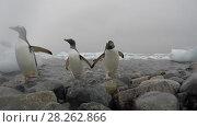 Купить «Gentoo Penguins on the beach», видеоролик № 28262866, снято 4 января 2018 г. (c) Vladimir / Фотобанк Лори