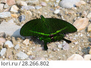 Купить «Бабочка парусник парис (Papilio paris)», фото № 28266802, снято 24 марта 2018 г. (c) Ирина Яровая / Фотобанк Лори