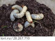 Купить «Личинки майского жука. Хрущ майский (Melolontha vulgaris)», фото № 28267710, снято 20 мая 2017 г. (c) Ольга Сейфутдинова / Фотобанк Лори