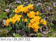 Купить «Желтые крокусы», фото № 28267722, снято 26 апреля 2015 г. (c) Ольга Сейфутдинова / Фотобанк Лори