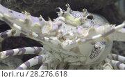 Купить «Spiny lobsters, also known as langustas, langouste», видеоролик № 28276618, снято 13 февраля 2018 г. (c) BestPhotoStudio / Фотобанк Лори