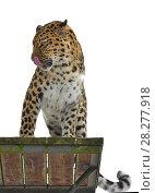 Amur leopard (Panthera pardus orientalis) sits on wooden platform. Стоковое фото, фотограф Валерия Попова / Фотобанк Лори