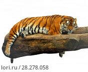 Купить «Амурский тигр (Panthera tigris tigris) сладко спит на дереве», фото № 28278058, снято 24 марта 2018 г. (c) Валерия Попова / Фотобанк Лори