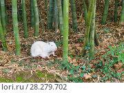 Нутрия, или коипу, или болотный бобр (лат. Mycastor coypus) - альбинос. Стоковое фото, фотограф Наталья Гармашева / Фотобанк Лори